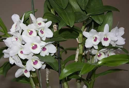 Орхидея фаленопсис: уход и выращивание   (110+ фото)