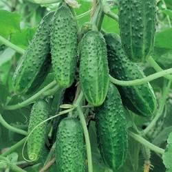 Об огурце мэлс: описание сорта, характеристики, технология выращивания
