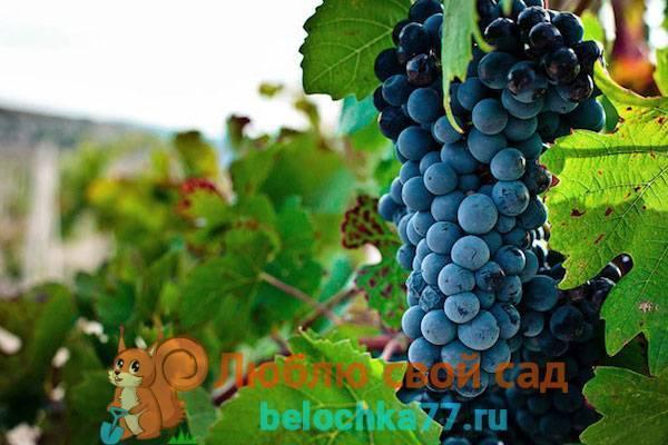 """Виноград """"шардоне"""": описание сорта, фото, отзывы"""