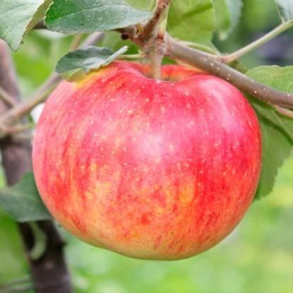 Сорт яблони штрифель – описание, фото