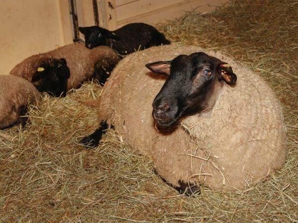 Описание овец породы суффольк - мыдачники