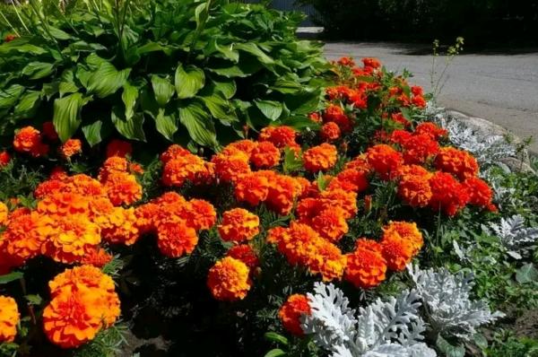 Какие бывают бархатцы — любимцы цветоводов и огородников: названия и описания сортов с фото