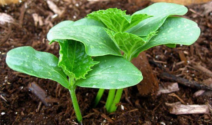 Чем подкормить рассаду в домашних условиях на подоконнике