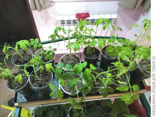 Причины бледной рассады помидоров
