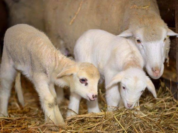 Случка и окот овец - спаривание, беременность и роды 2021