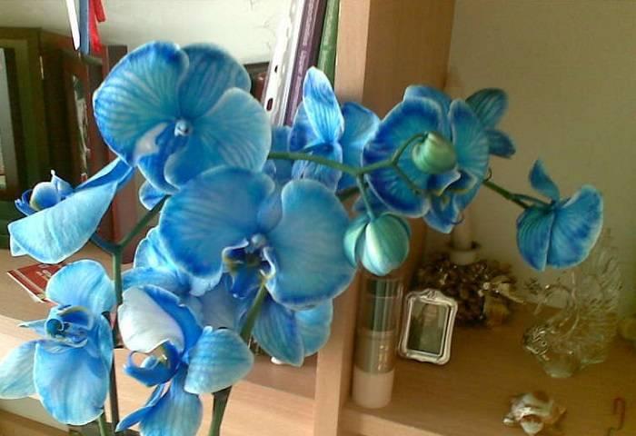 Великолепные синие орхидеи: откуда берутся и как за ними ухаживать?