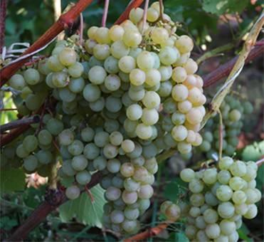 ✅ о винограде дружба: описание и характеристики сорта, посадка и уход - tehnomir32.ru