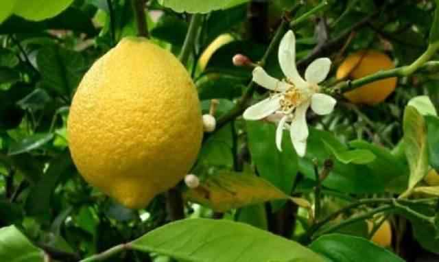 Правила черенкования лимона в домашних условиях