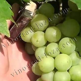 Виноград красень: описание и особенности сорта, специфика ухода, отзывы с фото