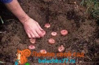 Гладиолусы: когда сажать луковицы весной гладиолусы: когда сажать луковицы весной