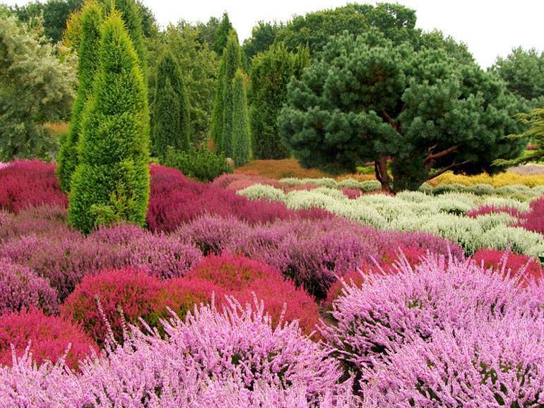 Как выращивать вереск обыкновенный, посадка и уход в саду, фото цветов, лечебный свойства эрики