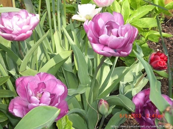 Советы по выращиванию тюльпанов. как улучшить развитие и цветение?