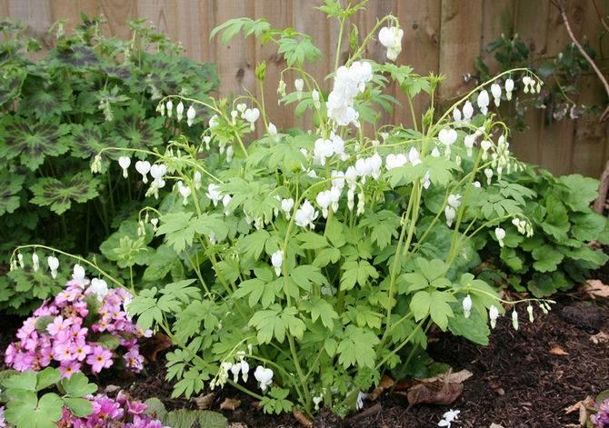 Дицентра: выращивание из семян, виды и сорта