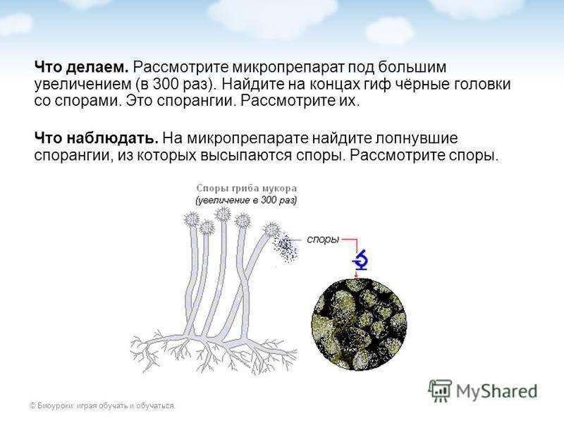 Как вырастить гриб мукора