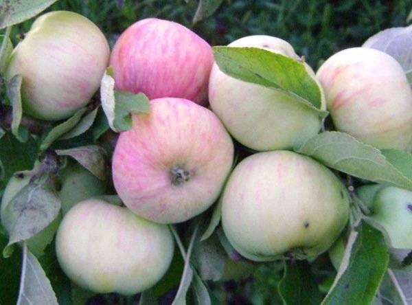 Яблоня грушовка зимняя: описание и фото, особенности выращивания и основные характеристики selo.guru — интернет портал о сельском хозяйстве