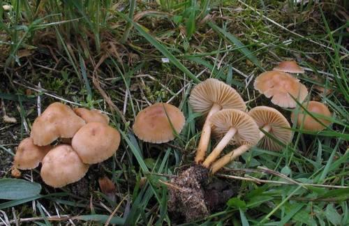 Еловый опенок темного цвета: фото, как выглядят съедобные грибы и как их отличить от ложных
