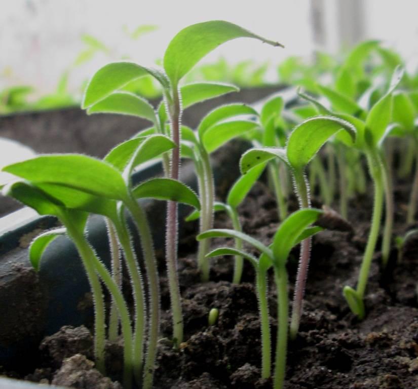 Как быстро прорастить семена огурцов перед посадкой