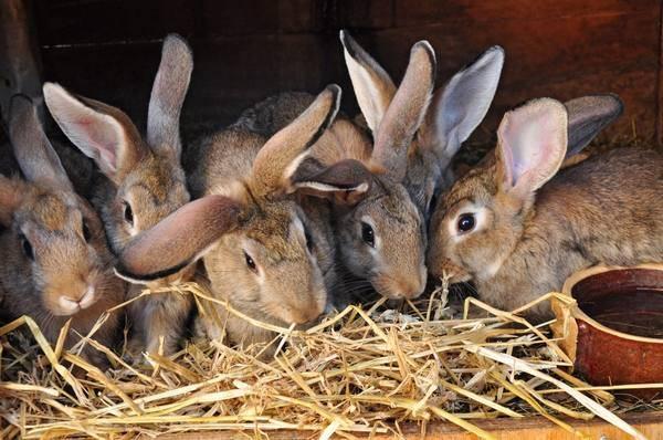 Случка кроликов: как и когда размножаются кролики