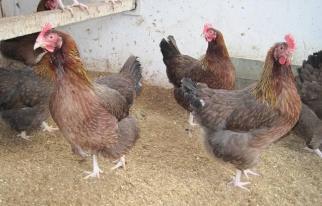 Особенности и характеристика породы кур вельзумер
