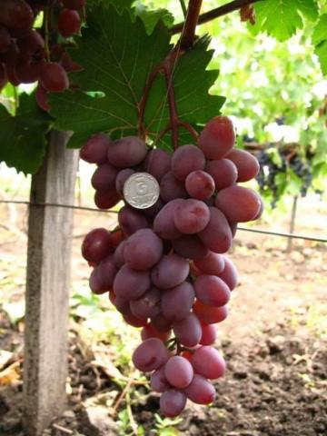 Виноград виктория: описание сорта, фото, отзывы, уход, видео