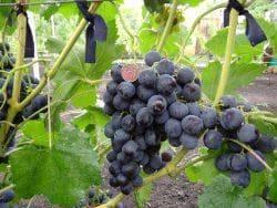 Сорт винограда рошфор