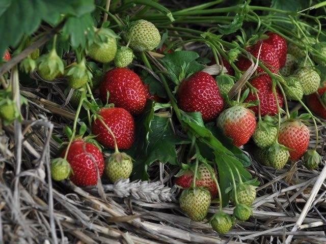 Клубника полка: характеристика десертной ягоды
