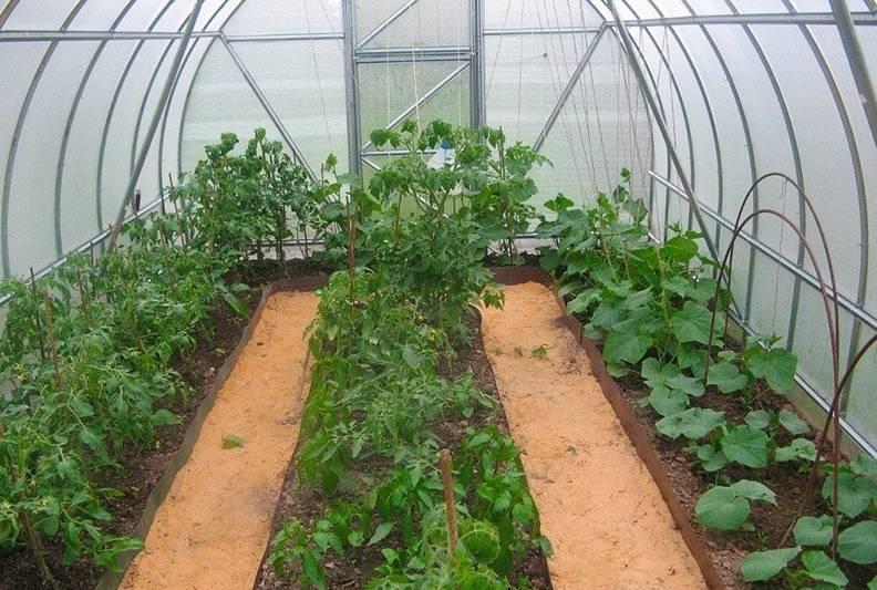 Выращивание огурцов в теплице из поликарбоната: советы