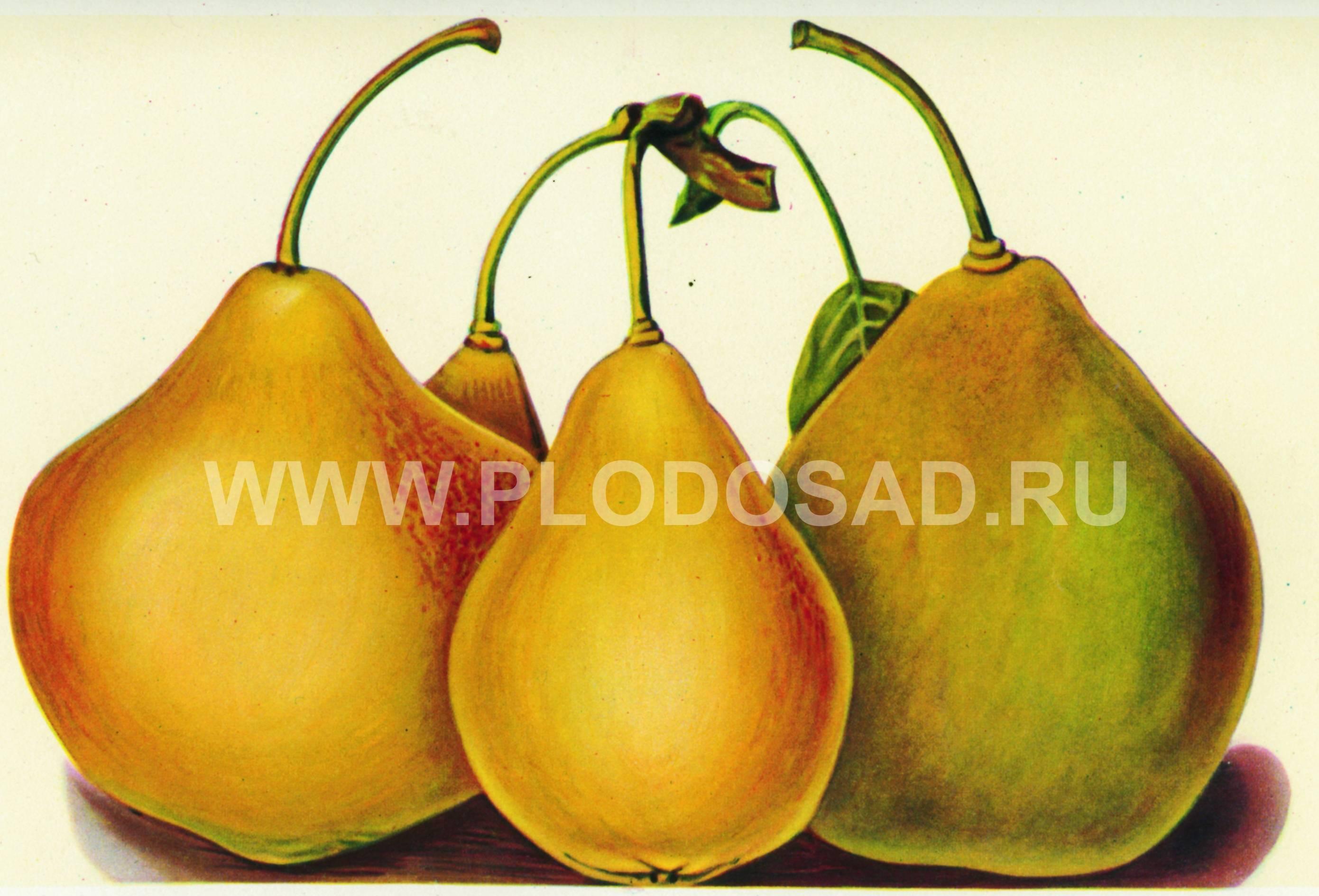 Поздние сорта груш: лучшие сорта для россии с описанием и фото