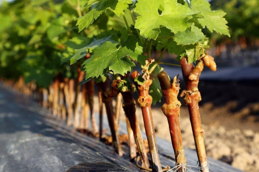 Правила и особенности черенкования винограда в домашних условиях