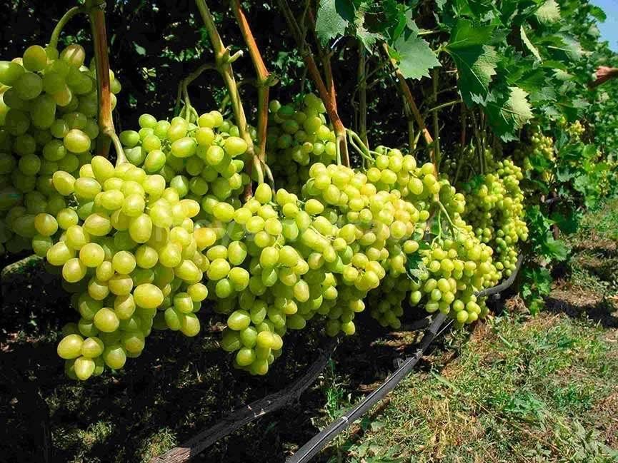 Уход за виноградом весной: посадка, обрезка и обработка (подмосковье, ленинградской области и средней полосы)