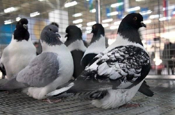 Разведение голубей в домашних условиях для начинающих: правила содержания и ухода
