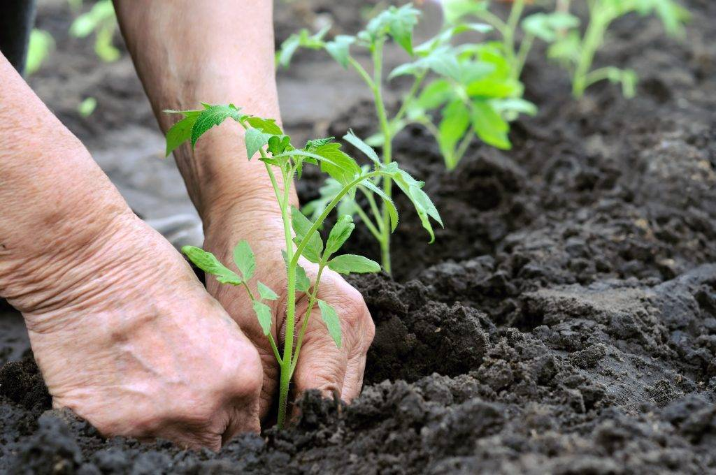 После чего лучше сажать помидоры   вырасти сад!