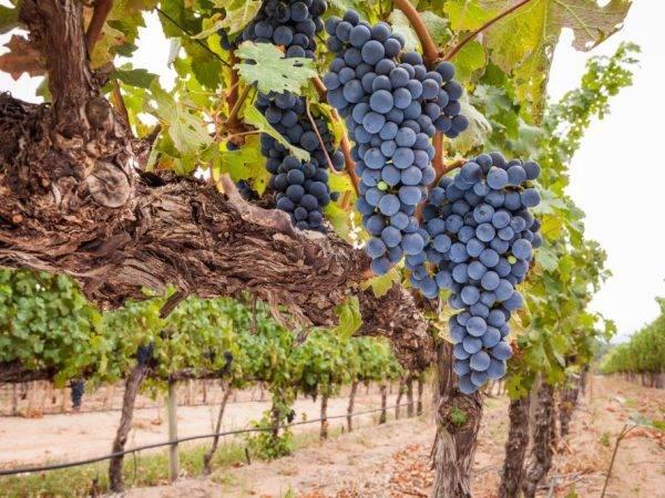 Описание сорта винограда саперави северный: фото и отзывы | vinograd-loza