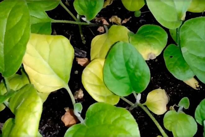 Почему желтеют листья у баклажан: рассада?