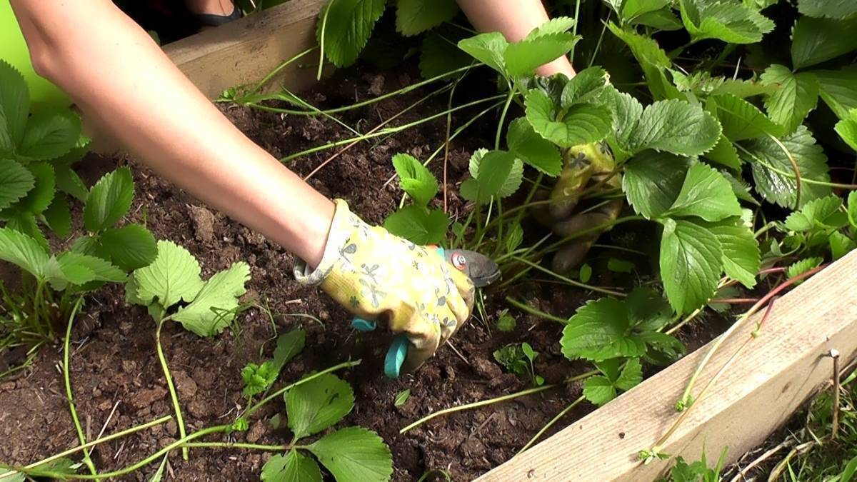 Особенности ухода за клубникой осенью: подкормка, обрезка, укрытие. как подготовить клубнику к зиме, чтобы увеличить урожайность - womens-24