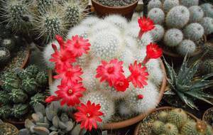 Кактус маммиллярия — выращивание и уход в домашних условиях