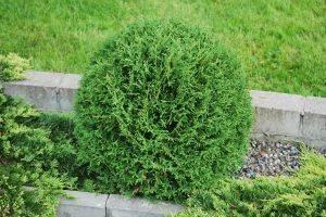 Туя Глобоза — красивый кустарник, меняющий цвет хвои