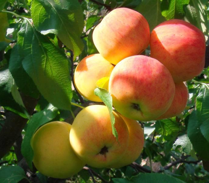 Характеристика яблони малиновка