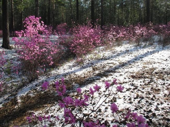 Рододендрон даурский: фото и описание, отзывы о выращивании