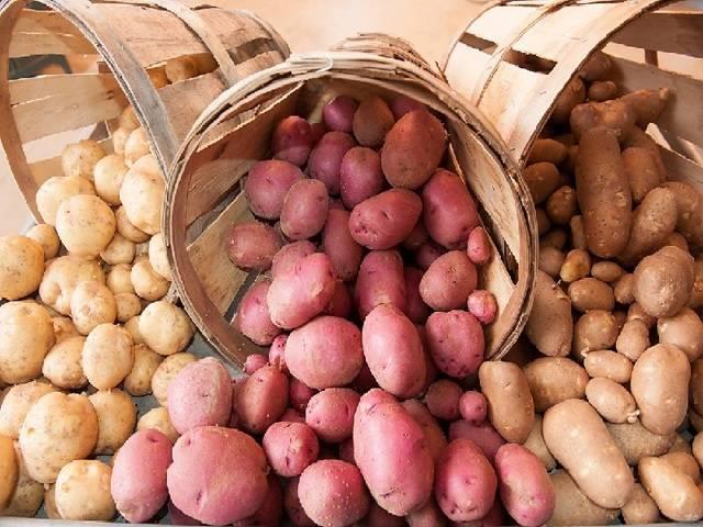 Картофель родриго: описание сорта, фото, отзывы