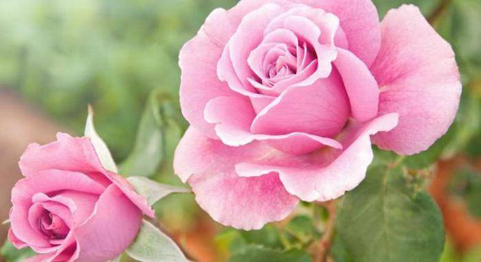 Как, когда и чем укрыть розы на зиму осенью: правила, способы, схемы
