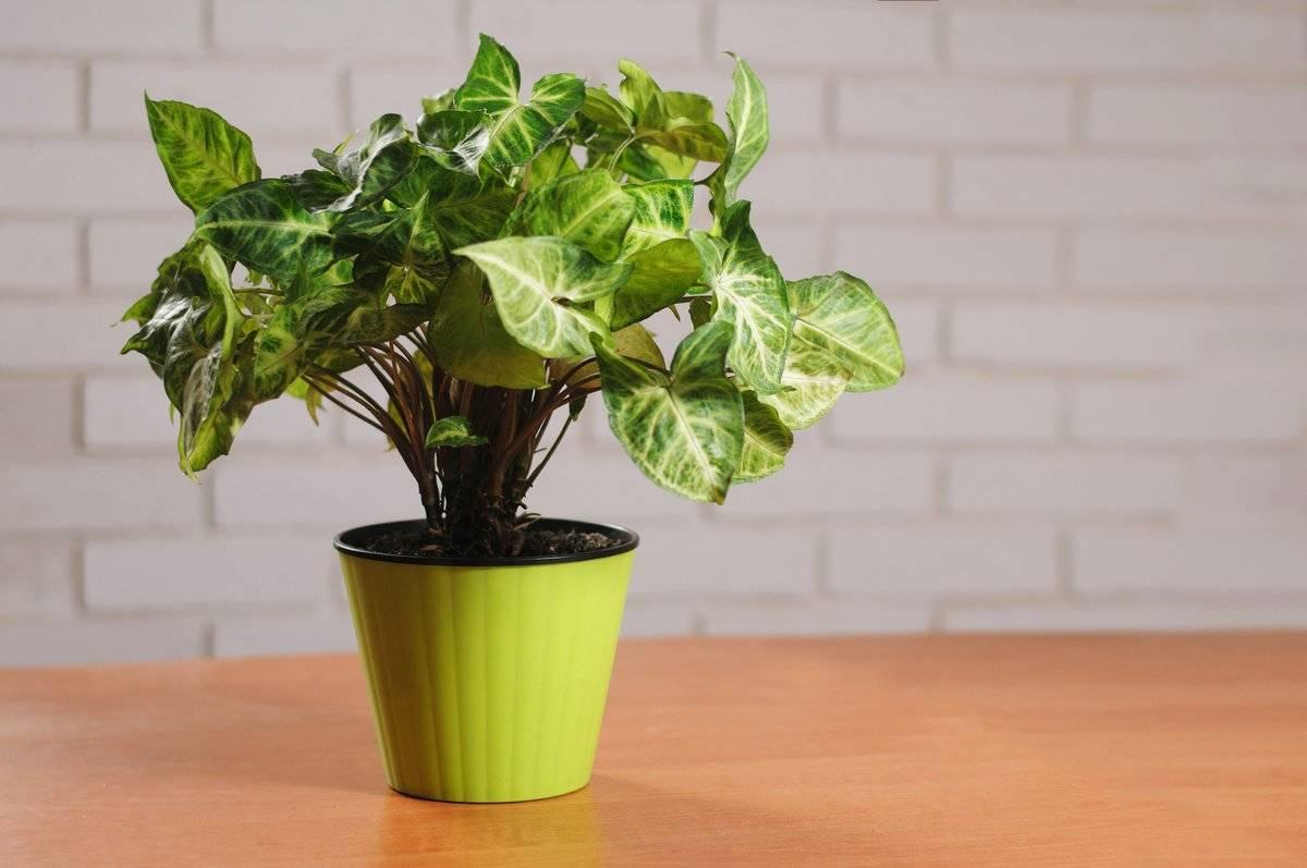 Сингониум (syngonium). как ухаживать, пересаживать и размножать. | floplants. о комнатных растениях