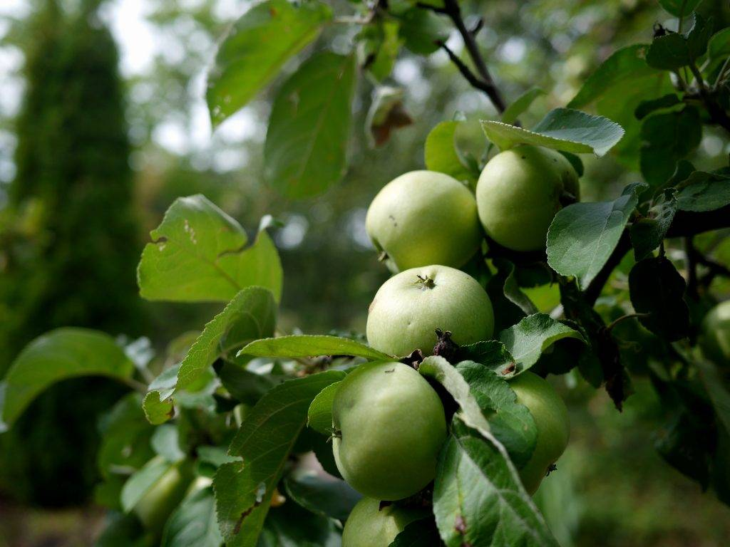 Сорт яблони аркад - мыдачники