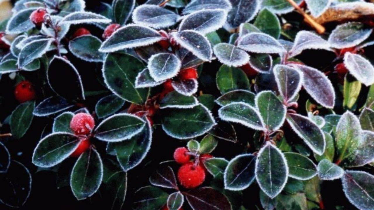 Цветок гаультерия уход в домашних условиях выращивание в открытом грунте размножение