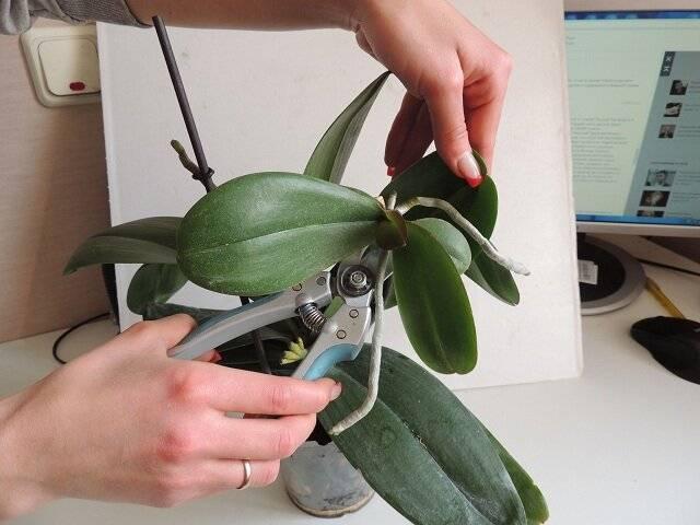 Как отсадить детку орхидеи в домашних условиях (фото + видео)