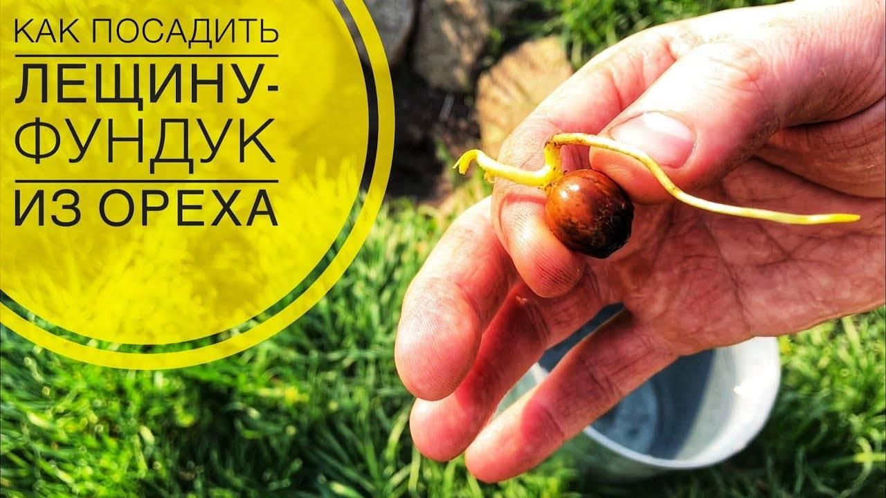 Посадка фундука (окультуренной лещины) саженцами осенью и весной