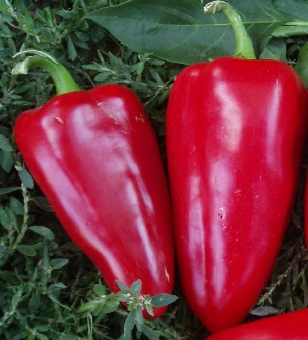 """Перец """"богатырь"""": характеристика и описание сорта, отзывы, фото, урожайность"""