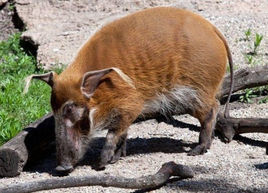 Сколько живут свиньи: продолжительность жизни в домашних условиях
