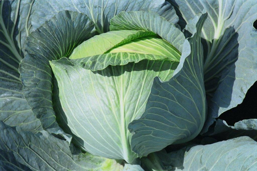 Описание сортов японской капустой, особенности выращивания и ухода