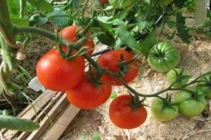 Описание сорта томата классик и его характеристики